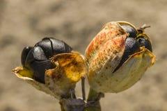 Maritimum de Pancratium, sementes do preto do narciso amarelo do mar e vagens Imagens de Stock