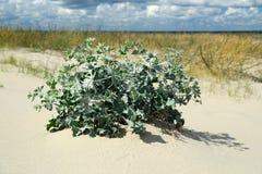 Maritimum Eryngium на песчанной дюне Стоковые Изображения
