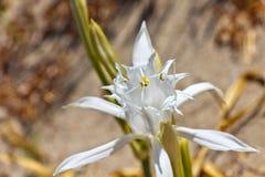 Maritimum Pancratium, лилия моря Стоковое фото RF