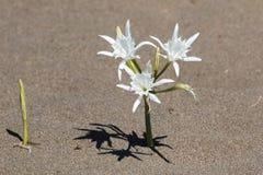 Maritimum Pancratium, daffodil моря Стоковые Изображения