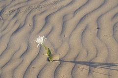 Maritimum Pancratium - daffodil моря Стоковые Фотографии RF