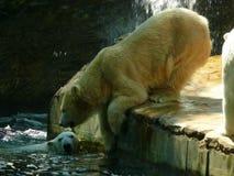 Maritimus d'ursus d'ours blanc Image libre de droits