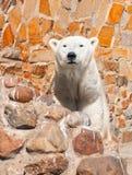 Maritimus del Ursus Fotografía de archivo libre de regalías