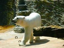 Maritimus do ursus do urso polar imagem de stock royalty free