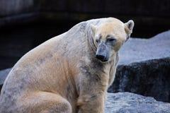 Maritimus masculino del Ursus del oso polar Foto de archivo