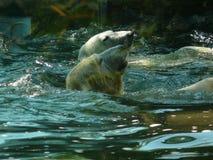 Maritimus ursus полярного медведя Стоковое Изображение RF