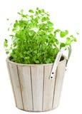 Marjolein in het planten van pot op wit Stock Afbeeldingen
