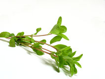 Free Marjoram Royalty Free Stock Photography - 5819227