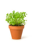 Marjoram in a clay pot. On a white background stock photography