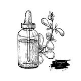 Marjoram essential oil bottle and marjoram leaves hand drawn vector illustration. Isolated plant drawing for Royalty Free Stock Images