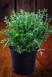Marjoram in flower pot Royalty Free Stock Photography