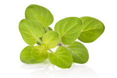 Marjoram. Royalty Free Stock Image