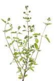 Marjoram. Fresh marjoram(Origanum majorana) on white background Stock Images