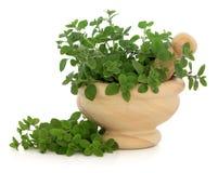 Marjoram Herb Stock Image