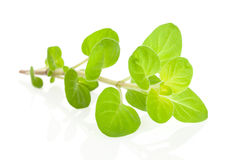 Marjoram herb. Royalty Free Stock Photography