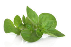 Marjoram Herb Leaf Sprig. Isolated over white background with reflection royalty free stock photography