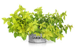 Marjoram Herb Plant Royalty Free Stock Photo
