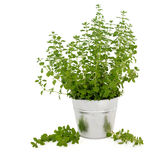 Marjoram Herb Plant. In an aluminum pot with leaf sprigs over white background stock photography