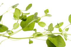 Marjoram Isolated Stock Photography