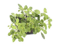 Marjoram isolated on white Stock Images