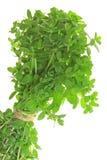 Marjoram (Origanum majorana) Royalty Free Stock Image