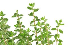 Marjoram Origanum majorana Royalty Free Stock Photography