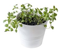 Free Marjoram Origanum Majorana Seedlings In White Pot. Old-sensitive Perennial Herb With Sweet Pine And Citrus Flavors. Green Aroma Stock Photos - 142992403