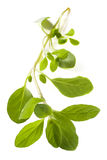 Marjoram Over White Royalty Free Stock Photography