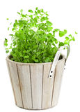 Marjoram in planting pot on white Stock Images