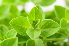 Marjoram plants background Stock Photo