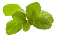Marjoram on White Stock Photo