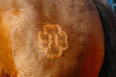 Mark On Horse Leg. Detail of leg of brown horse with mark Royalty Free Stock Image