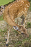 Marked deer hind Royalty Free Stock Images