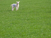Marked lamb standing in field of grass Royalty Free Stock Image