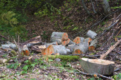 Marked logs in a forest Royalty Free Stock Image