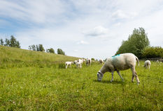 Marked sheep grazing in fresh grass Stock Photos