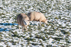 Marked sheep grazing in a snowy grassland Royalty Free Stock Photo