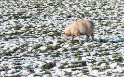 Marked sheep grazing in a snowy grassland Stock Images