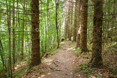 Marked trail through a pine forest Stock Photos