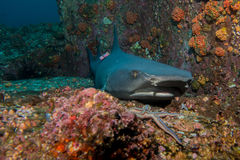 Marked whitetip shark. Whitetip Shark in Cocos Island Costa Rica royalty free stock photo