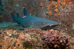 Marked whitetip shark. Whitetip Shark in Cocos Island Costa Rica stock images
