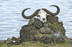 Cape Buffalo Skull. A Cape Buffalo skull rests on a pile of stones in Tanzania, Africa Stock Image