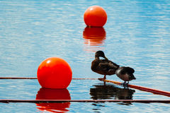 Marker buoy on surface of water and two ducks Royalty Free Stock Image