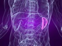 markerad spleen Arkivbilder