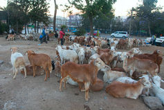Market animals in Ethiopia Stock Photo