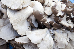 Market Fresh Grey Oyster Mushrooms, Nepal Royalty Free Stock Photography
