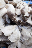 Market Fresh Grey Oyster Mushrooms, Nepal Royalty Free Stock Photos