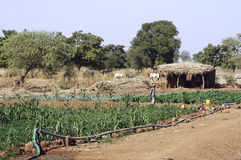 Market garden crops in Burkina Faso Stock Images