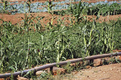 Market garden crops in Burkina Faso. The vegetable crops in Burkina Faso is the main activity in the summer when there is rain to irrigate and make a reservation stock photo