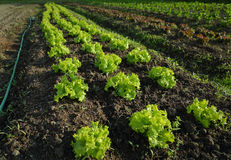 Market Garden Lettuce Growing Royalty Free Stock Photography